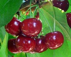 vocna sadnica visnje