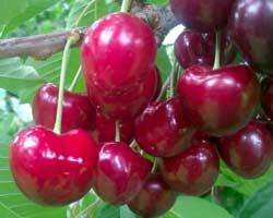 vocna sadnica